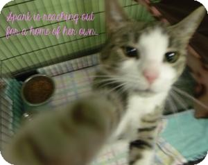 Domestic Shorthair Cat for adoption in Muskegon, Michigan - Spark