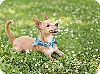 Chihuahua Dog for adoption in Portsmouth, Rhode Island - Wally-LOCAL!