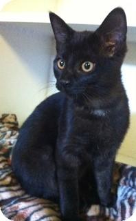 Domestic Shorthair Kitten for adoption in Port Hope, Ontario - Jayla