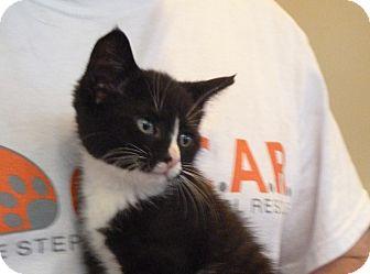 Domestic Shorthair Kitten for adoption in Sparta, New Jersey - Petey