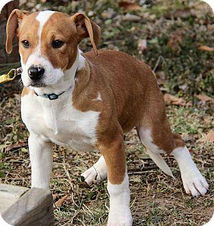 American Bulldog/Beagle Mix Puppy for adoption in Harrisonburg, Virginia - Fiona