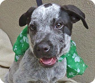 Blue Heeler/Basset Hound Mix Puppy for adoption in Baton Rouge, Louisiana - Guinness