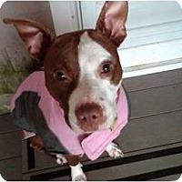 Adopt A Pet :: BELLA - Dennis, MA