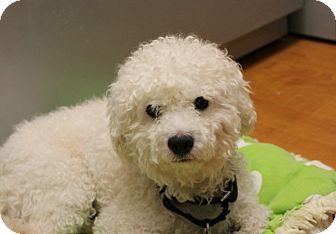 Poodle (Miniature) Mix Dog for adoption in Chicago, Illinois - Ricky