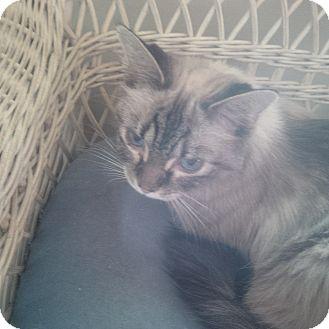 Siamese Cat for adoption in Fairborn, Ohio - Melicent