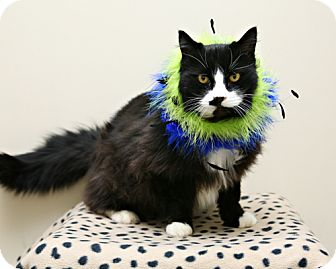 Domestic Longhair Cat for adoption in Bellingham, Washington - Wolfgang