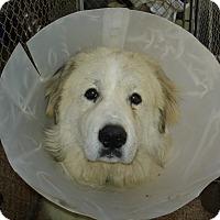 Adopt A Pet :: Benjamin - NY - Lee, MA
