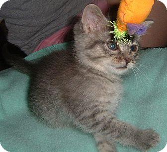 Domestic Shorthair Kitten for adoption in Farmington, Arkansas - Freya