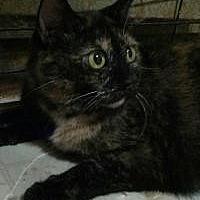 Domestic Shorthair Cat for adoption in Lexington, Kentucky - Angel