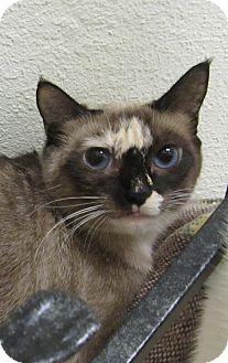 Siamese Cat for adoption in Oakland, Oregon - Rikki