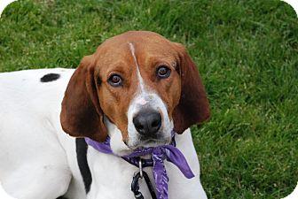 Treeing Walker Coonhound Dog for adoption in San Francisco, California - Walter