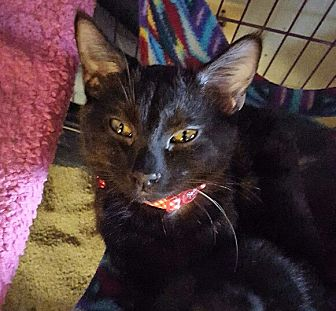 Domestic Shorthair Kitten for adoption in San Ramon, California - Sylvia