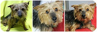 Yorkie, Yorkshire Terrier Dog for adoption in Forked River, New Jersey - Miles