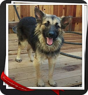 German Shepherd Dog Mix Dog for adoption in Apache Junction, Arizona - Lobo