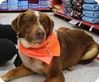 Brittany/St. Bernard Mix Dog for adoption in Washington, Pennsylvania - Brock