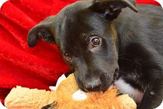 Boxer/Shepherd (Unknown Type) Mix Puppy for adoption in Philadelphia, Pennsylvania - Romeo