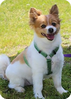 Pomeranian/Chihuahua Mix Dog for adoption in Grants Pass, Oregon - Marty