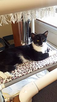 Domestic Shorthair Cat for adoption in Salem, Ohio - ozzie