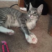 Domestic Shorthair Kitten for adoption in Garner, North Carolina - Midna