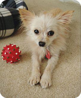 Pomeranian Dog for adoption in conroe, Texas - Tinsel