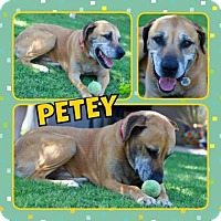 Adopt A Pet :: Petey - Scottsdale, AZ