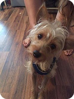 Yorkie, Yorkshire Terrier Mix Dog for adoption in Brooksville, Florida - Kizzy