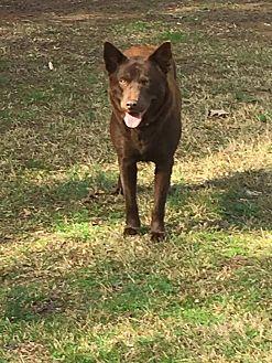 Labrador Retriever/Chow Chow Mix Dog for adoption in Macon, Georgia - Gemma