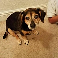 Beagle Mix Dog for adoption in Davie, Florida - Midge