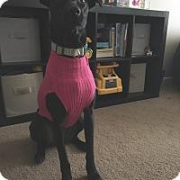 Greyhound/Labrador Retriever Mix Dog for adoption in Baltimore, Maryland - Daisy (COURTESY POST)