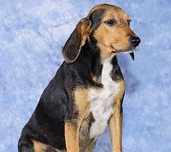 Beagle Dog for adoption in Cary, North Carolina - Delorian