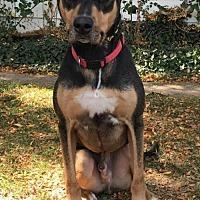 Doberman Pinscher Mix Dog for adoption in Denver, Colorado - Dobie
