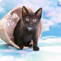 Adopt A Pet :: Snoop - Sterling Heights, MI