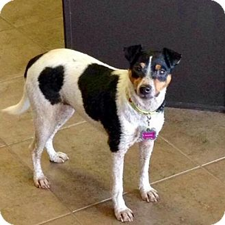 Rat Terrier Dog for adoption in Baton Rouge, Louisiana - Julianna (LA)