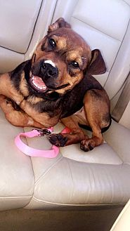 Boxer/American Pit Bull Terrier Mix Puppy for adoption in San Diego, California - Kona