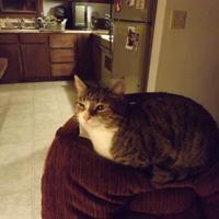 Adopt A Pet :: Stripe - Owatonna, MN