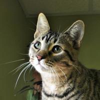 Domestic Shorthair/Domestic Shorthair Mix Cat for adoption in Hastings, Nebraska - Calzone