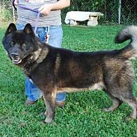 Adopt A Pet :: BAGHEERA - Louisville, KY