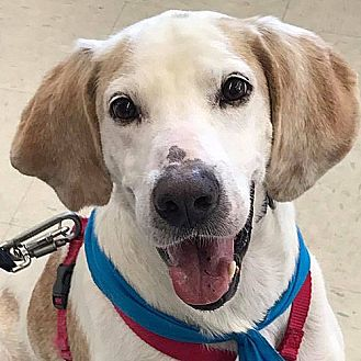 Foxhound Dog for adoption in Fairfax, Virginia - Jerry *Adopt or Foster'