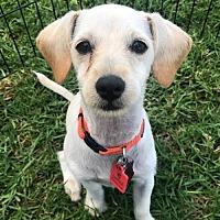 Adopt A Pet :: Denise Pup - Della - San Diego, CA