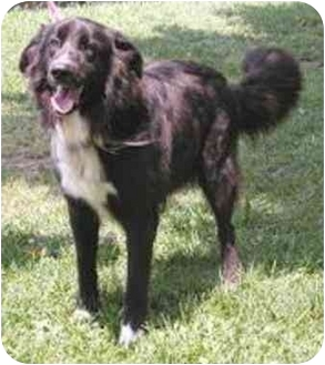 Flat-Coated Retriever Mix Dog for adoption in Oxford, Michigan - Cecil