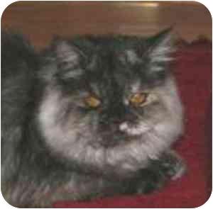 Persian Cat for adoption in Beverly Hills, California - Pisha