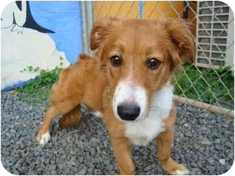 Border Collie Mix Puppy for adoption in Guaynabo, Puerto Rico - Pookie
