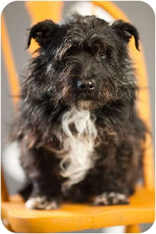Scottie, Scottish Terrier Mix Dog for adoption in Portland, Oregon - Farris