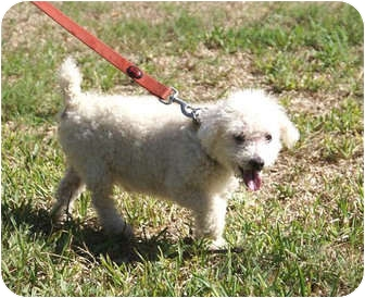 Poodle (Miniature) Mix Dog for adoption in Houston, Texas - Poochy