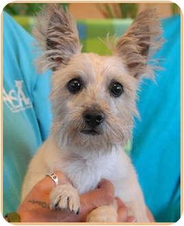 Cairn Terrier Mix Dog for adoption in Las Vegas, Nevada - Jazz