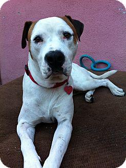 American Bulldog/Anatolian Shepherd Mix Dog for adoption in Burbank, California - Stanley - Loving sweet dog!