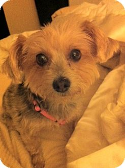 Yorkie, Yorkshire Terrier Dog for adoption in Goodyear, Arizona - Holly