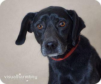 Labrador Retriever/Beagle Mix Dog for adoption in Phoenix, Arizona - Sooner