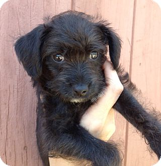 Toy Poodle/Kerry Blue Terrier Mix Puppy for adoption in Inglewood, California - Alexis