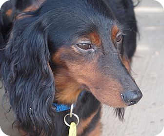 Dachshund Dog for adoption in Prole, Iowa - Julie